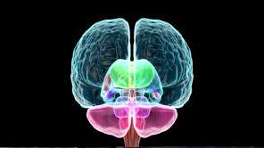 446007016-hypothalamus-pons-sehnerv-corpus-callosum