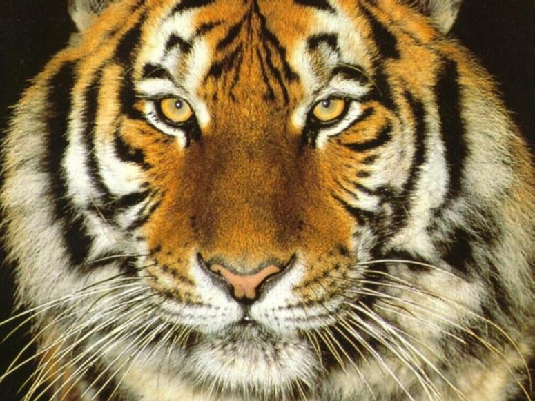 tigre006_1024